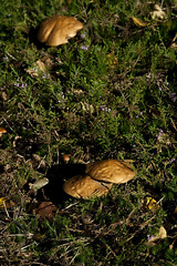IMG_9147 (taliesin-DS) Tags: trees fall mushroom leaves forest mos bomen herfst bos heide paddestoelen bladeren wezepsche wezepse