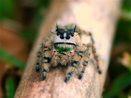 Beautiful tan/gray jumping spider - macro