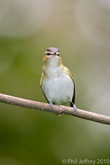 Red-eyed Vireo (phil.jeffrey) Tags: nyc usa ny bird centralpark wildlife sparrow avian vireoolivaceus fallmigration wwwcatharuscom