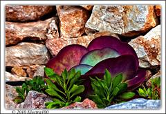 Planta... (Pilar Lozano ) Tags: verde planta hojas piedras morado crasa electra100