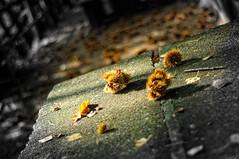 per castagne... (Riboli Alessandro) Tags: 50mm nikon bokeh d2x pietra autunno tavolo bosco castagne riccio