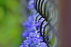 blue-keh (ladybugdiscovery) Tags: pink flowers blue flower green fence wednesday happy dof purple bokeh chainlink salvia ohhh a hbw bokehlicious superaplus aplusphoto fabfoto platinumheartaward victoriabluesalvia bestcapturesaoi