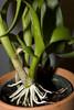 NOID Dendrobium phalaenopsis (andrew.schram) Tags: plant orchid nikon dendrobium d40 dendrobiumphalaenopsis