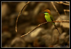 Green Bee Eater ( वेडा राघू) (Hrishikesh Karambelkar) Tags: india green birds insect indian bee maharashtra killers mumbai eater rajapur angale