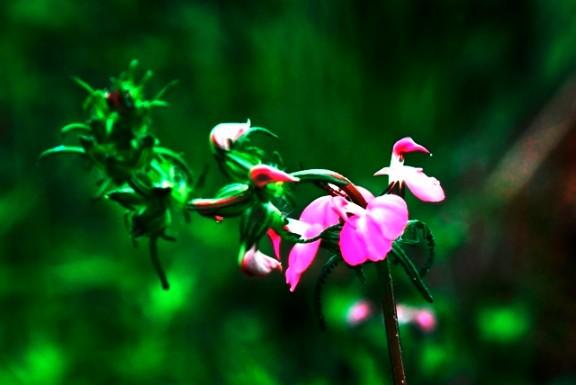 Jiuzhaigou flower21