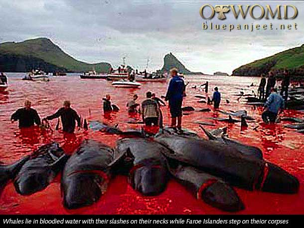 pilot-whale-killing-tradition-in-faroe-island
