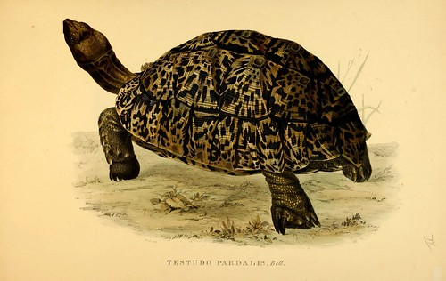 003-Testudo Pardalis Bell-Tortoises terrapins and turtles..1872-James Sowerby