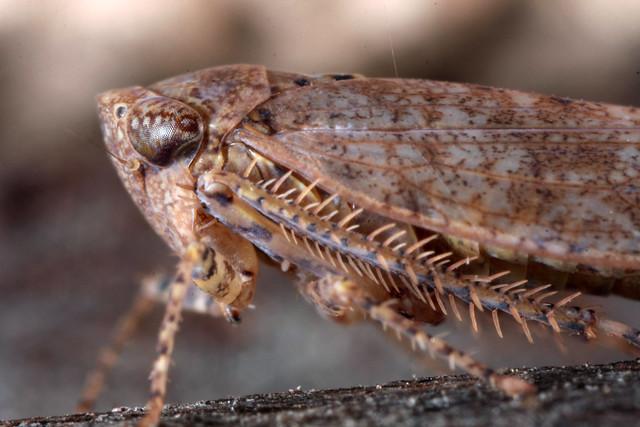 Bespeckled Leafhopper (Paraphlepsius irroratus)