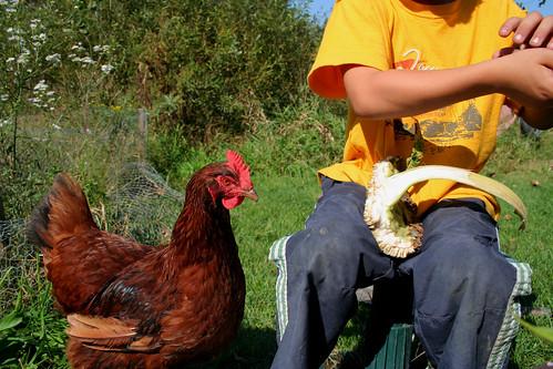 chicken begging