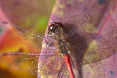 "Dragonfly on leaf • <a style=""font-size:0.8em;"" href=""http://www.flickr.com/photos/30765416@N06/5057158632/"" target=""_blank"">View on Flickr</a>"