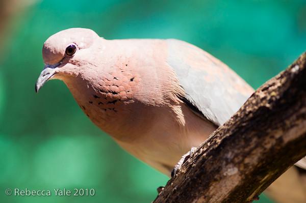 RYALE_African_Dawn_Birds_54