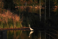 Great Egret Basking in the Setting Sun at Stricker's Pond (Madison Guy) Tags: white bird wisconsin pond waterbird madison aquatic wi greategret goldenhour middleton strickerspond