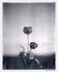 tulip (look-book) Tags: blackandwhite bw white black film analog polaroid blackwhite foto fotos tulip sw 4x5 linhof analogue gf 9000 tulpe lookbook selfdeveloped analogous analogicas grossformat análogo mastertechnika panpola