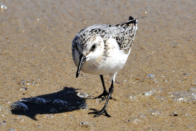 sanderling w bubbles