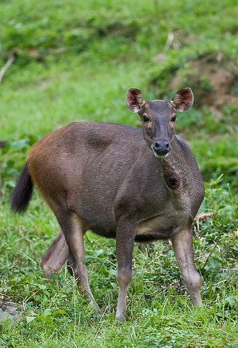 danum valley female sambar deer..IMG_9601 copy