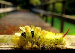 Hairy Autumn Regards (fossibear) Tags: hairy caterpillar raupe kurpark haarig malente