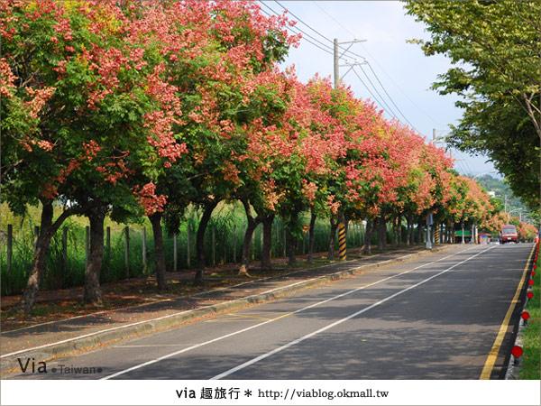 【台中】台灣秋天最美的街道!台中大坑發現美麗的台灣欒樹4