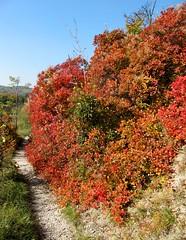 (happycat) Tags: red orange rot germany j thringen leaf bush path jena shrub blatt strauch busch weg wanderweg sonnenberge cotinuscoggygria perckenstrauch gewhnlicherperckenstrauch