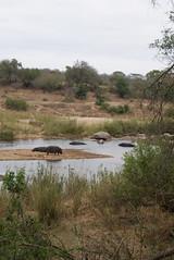 Hippos at Kruger National Park, South Africa