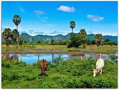 Thailand Rural Idyll | Kanchanaburi (I Prahin | www.southeastasia-images.com) Tags: green beautiful rural thailand buffalo rice country farmland palm lush ricefield kanchanaburi paddies sugarpalm earthasia totallythailand gettyimagessoutheastasiaq1