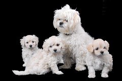 the family 2 (caz gordon,) Tags: family dog pet baby cute animal blackbackground puppy studio toy sweet small mother litter poddle diddy puppys apso plainbackground lhasadoodle petlhasa