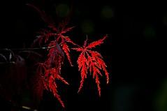 ACER (Lace1952) Tags: nikon solo foglia luce pianta acero d300 prigione vco ossola nikkor18200vr acerpurpureamajor