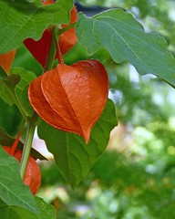 Chinese Lantern Flower (njchow82) Tags: orange plant nature leaves closeup bokeh calyx herbaceousperennial chineselanternflower exceptionalflowers njchow82 dmcfz35