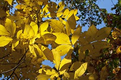 "Hickory branches of gold • <a style=""font-size:0.8em;"" href=""http://www.flickr.com/photos/30765416@N06/5090155095/"" target=""_blank"">View on Flickr</a>"
