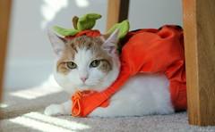 Little Miss Pumpkin (J. Sibiga Photography) Tags: portrait pet halloween animal cat costume kitty