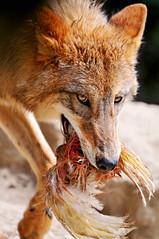 [フリー画像] 動物, 哺乳類, イヌ科, 狼・オオカミ, 201010201100