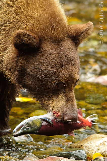 Bears and Salmon