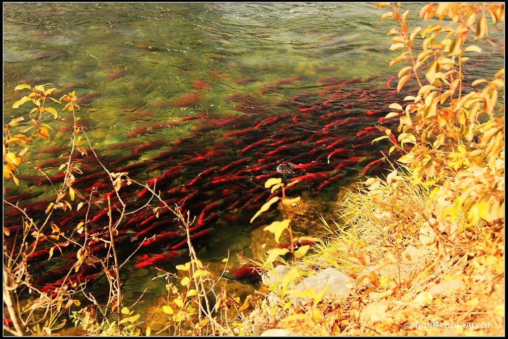 Salmon Run 3