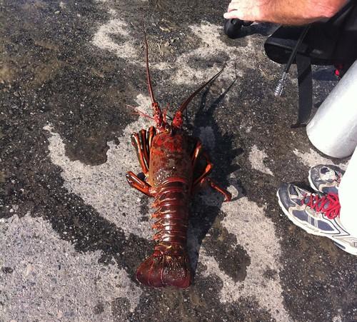 rock lobster two