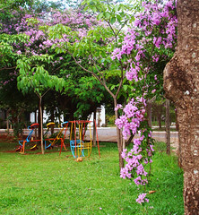 Memories of Days Gone By Vol 3 (osvaldoeaf) Tags: park pink flowers brazil tree green nature grass leaves childhood kids garden children landscape petals memories past goinia gois nostalgy bouganville wonderfulworldofflowers remeness
