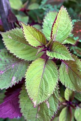 Coleus 'Royal Glissade'