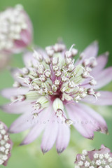 The Astrantia Affair (Astrantia Major Abbey Road) (*Les Hirondelles* Photography) Tags: pink flowers summer italy flower detail macro verde green nature june canon garden spring italian focus italia dof estate bokeh nirvana quote song rosa natura explore bloom abbeyroad fiori mygarden giugno fiore affair giardino italiano inbloom astrantia astrantiamajor masterwort 100mm28 fioritura citazione canzone explored sooc straightoutofcamera themacrogroup macrodetail astrantiamajorabbeyroad masterwortflower leshirondellesphotography