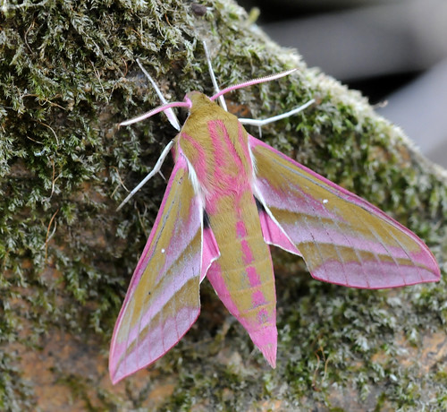 Elephant Hawk-moth- Deilephila elpenor