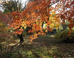 Autumn light (langkawi) Tags: autumn light orange fall leaves golden maple arboretum acer langkawi herbstlaub naturesfinest herbstlicht baumschulenweg alberoefoglia fächerahorn