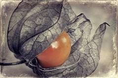 Fisalis (..Mrio..) Tags: stilllife plants macro fruit nikon creations shadowhouse fisalis newacademy awardtree