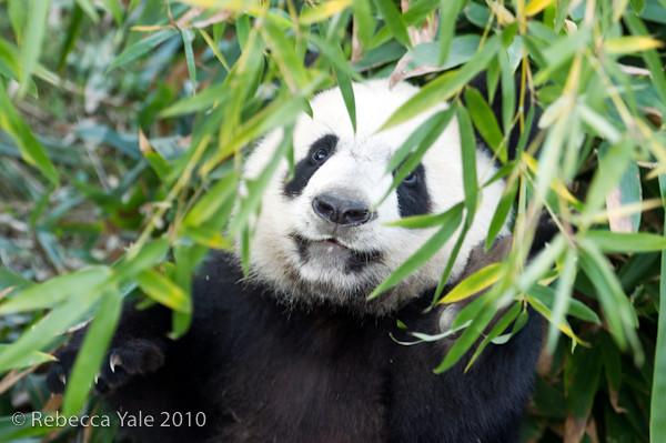 RYALE_Panda_Bears_4