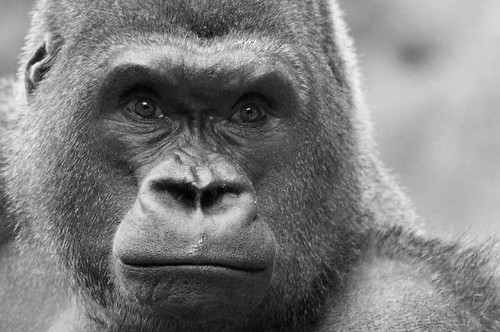 [フリー画像] 動物, 哺乳類, ヒト科, ゴリラ, モノクロ写真, 201011171100