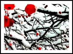 snow cherries  [explored] (Emily Bemily) Tags: cameraphone red snow with an smartphone mobilephone apps iphone flickup rose taken iphone4 emily iphonography iphone iphoneography iphoneographer bemily