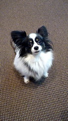Griffin the Papillon or Continental Toy Spaniel (Angie Naron) Tags: dog canine papillon mansbestfriend griffin womansbestfriend continentaltoyspaniel butterflydog photobyangienaron