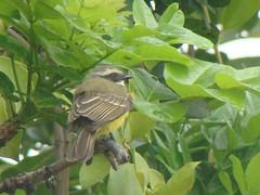 Pitirre copete rojo [Social   Flycatcher] (Myiozetetes similis). (Jos Ramn Marrufo) Tags: socialflycatcher myiozetetessimilis