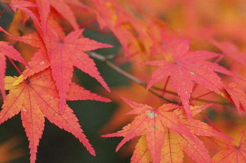 紅葉 Maple leaves