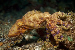 Mating Blue Ringed Octopus (serge_mondial) Tags: 7d mating lembeh nad nauticam