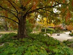 Underneath (Dystopos) Tags: autumn fall gardens garden botanical birmingham alabama redwood bhamref canopy botanicalgardens 2010 birminghambotanicalgardens dawnredwood nov2010