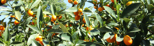 Cumquat tree header