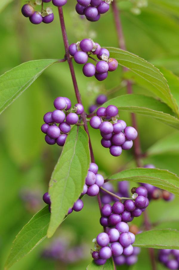 コムラサキ(小紫)~念珠の松庭園