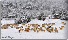 Esperando el sol ----- 300.000 visitas !!!!!!!!!!!!!  GRACIAS ! Grcies ! Thank you ! Merci ! (Jordi TROGUET (Thanks for 1.782.000+views)) Tags: leica espaa nature nikon europa searchthebest nieve natura jordi sheeps neu tqm ramat europ ovejas lerida senet mouseion ovelles jtr fantasticnature natureplus d700 nikond700 troguet jorditroguet natureselegantshots spiritofphotography natureframeshot 100commentgroup panoramafotogrfico solofotos flickraward